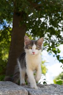 イスタンブール旧市街 石塀の上を歩く子猫の写真素材 [FYI03821374]