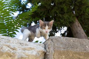 イスタンブール旧市街 石塀から登場したグレーの子猫の写真素材 [FYI03821385]