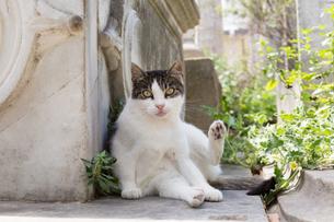 イスタンブール旧市街 毛づくろいする猫の写真素材 [FYI03821387]