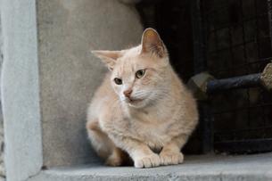 イスタンブール旧市街 クリーム色の猫の写真素材 [FYI03821399]