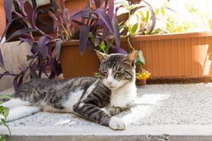 日陰で休む猫の写真素材 [FYI03821425]
