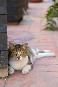 イスタンブール旧市街に佇むキジ白柄のネコの写真素材 [FYI03821441]
