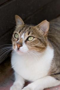 イスタンブール耳カットが施されたキジ白ネコの写真素材 [FYI03821447]