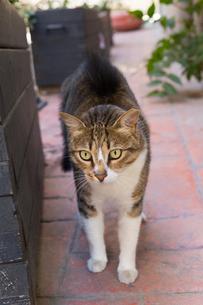 イスタンブール旧市街を歩くネコの写真素材 [FYI03821452]