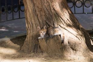木の幹で休む、三毛柄の子猫の写真素材 [FYI03821500]
