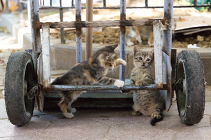 イスタンブール、台車で遊ぶ二匹の子猫の写真素材 [FYI03821515]