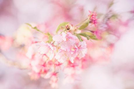 河津桜 の写真素材 [FYI03821744]