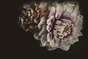 ダリア 白い花の写真素材 [FYI03821746]