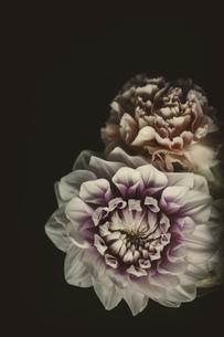 ダリア 白い花の写真素材 [FYI03821747]