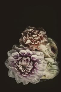 ダリア 白い花の写真素材 [FYI03821748]