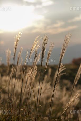 曽爾高原のススキの写真素材 [FYI03821749]