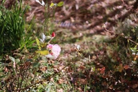 名残りの秋薔薇の写真素材 [FYI03821822]