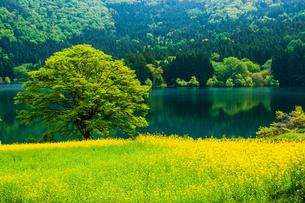 菜の花畑と若葉の北竜湖の写真素材 [FYI03821936]