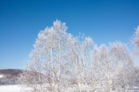 霧氷が付いたシラカバと青空の写真素材 [FYI03822137]