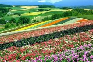 四季彩の丘の花畑の写真素材 [FYI03822260]