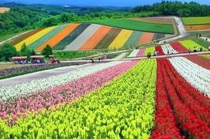 四季彩の丘の花畑の写真素材 [FYI03822261]