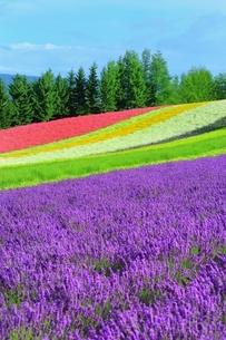 富良野 ラベンダーの花畑の写真素材 [FYI03822262]
