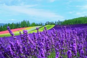 富良野 ラベンダーの花畑の写真素材 [FYI03822263]