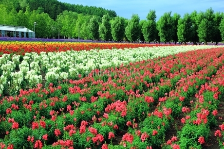 富良野 ファーム富田の花畑の写真素材 [FYI03822264]