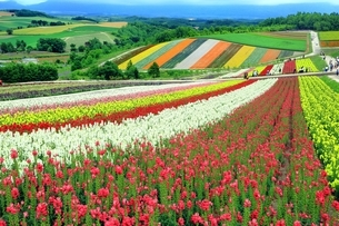 四季彩の丘の花畑の写真素材 [FYI03822283]