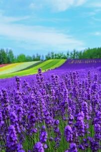富良野 ラベンダーの花畑の写真素材 [FYI03822284]