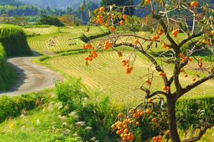 柿の木と田舎道の写真素材 [FYI03822584]