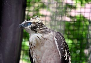 クマタカ Mountain Hawk eagleの写真素材 [FYI03822604]