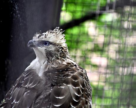 クマタカ Mountain Hawk eagle の写真素材 [FYI03822605]