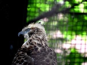 クマタカ Mountain Hawk eagle の写真素材 [FYI03822606]