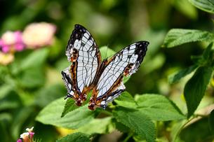 蝶 花の蜜を吸うイシガケチョウの写真素材 [FYI03822611]