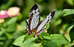 蝶 花の蜜を吸うイシガケチョウの写真素材 [FYI03822612]