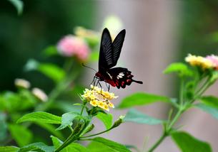 蝶 花の蜜を吸う ベニモンアゲハの写真素材 [FYI03822613]