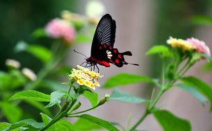蝶 花の蜜を吸う ベニモンアゲハの写真素材 [FYI03822614]