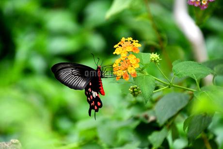 蝶 花の蜜を吸うベニモンアゲハ Butterflyの写真素材 [FYI03822615]