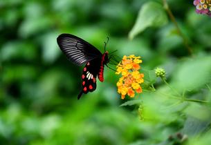 蝶 花の蜜を吸うベニモンアゲハ Butterflyの写真素材 [FYI03822616]