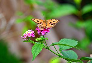 花の蜜を吸う蝶 タテハモドキの写真素材 [FYI03822617]