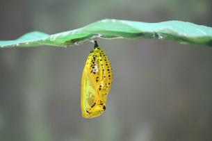 蝶 オオゴマダラ 金色の蛹(さなぎ)の写真素材 [FYI03822618]