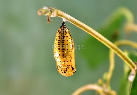 蝶 オオゴマダラ  金色 の蛹(さなぎ)の写真素材 [FYI03822619]