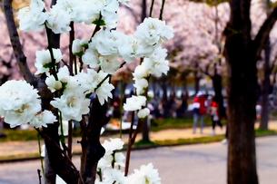 桃の花と桜の写真素材 [FYI03822762]