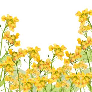 菜の花水彩画のイラスト素材 [FYI03822898]