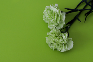 緑背景のカーネーションの写真素材 [FYI03823219]