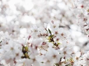 満開の桜の写真素材 [FYI03823280]