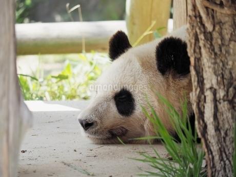 昼寝するパンダの写真素材 [FYI03823281]