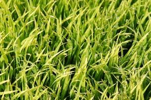 田植え前の稲の苗の写真素材 [FYI03823429]