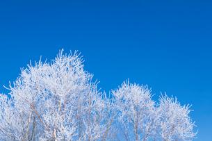 霧氷の木と青空の写真素材 [FYI03823529]