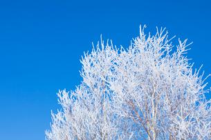霧氷の木と青空の写真素材 [FYI03823530]