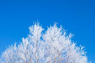 霧氷の木と青空の写真素材 [FYI03823533]