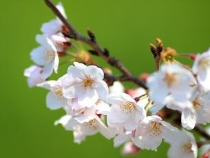 桜の写真素材 [FYI03823549]
