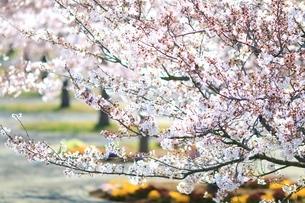 桜の写真素材 [FYI03823550]