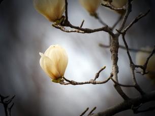 ハクモクレンの花(蕾)の写真素材 [FYI03823715]